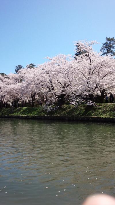 今年の弘前桜祭りの報告!