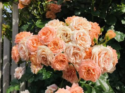 イングリッシュガーデンの薔薇は見頃でしたぁ~(^^♪【2019.5】…