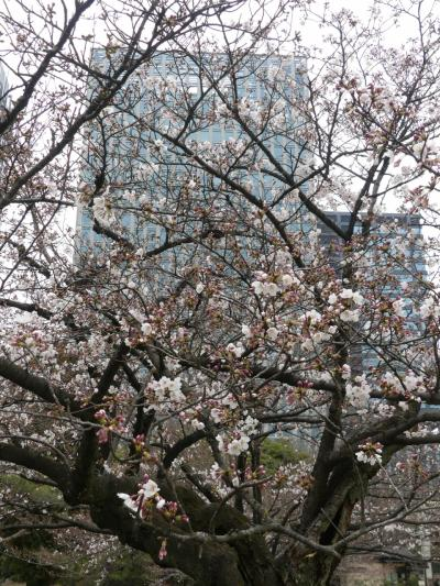 「浜離宮恩賜庭園」のサクラ_2019_3月26日は、ほんの咲き始め。しかも曇天(中央区)