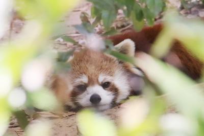 初夏のレッサーパンダ詣の埼玉こども動物自然公園~コアラのピリーくんは顔見られず&Hello!プレーリードッグの赤ちゃん今年は無事に育って!