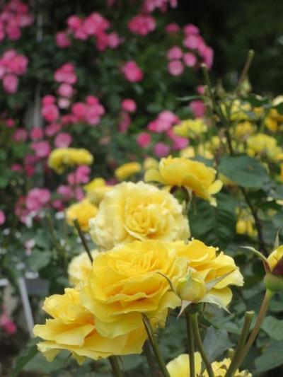 鶴舞公園のバラを見てきました。その前に名古屋城の本丸御殿を見てきました。