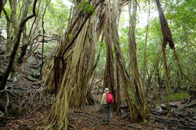 屋久島 植生の垂直分布を歩く 西部林道