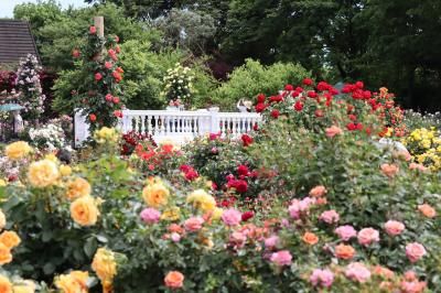 京成バラ園、10,000株のバラが華やかに・・・