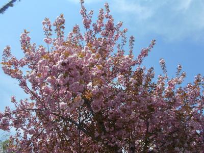 山里には遅い春。残雪の山々をバックに八重桜などが一斉に咲く その1