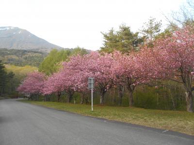 山里には遅い春。残雪の山々をバックに八重桜などが一斉に咲く その2