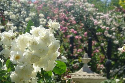 横浜イングリッシュガーデン バラが見ごろ 2019年春