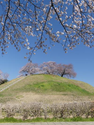 「さきたま古墳公園」のサクラ_2019(1)_4月3日は未だ3分咲きくらいでした(埼玉県・行田市)