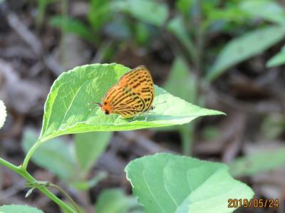 2019年森のさんぽ道で見られた蝶⑪ウラナミアカシジミ、アカシジミ