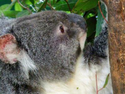 ニュージーランドとオーストラリアどうぶつハシゴ旅④~コアラパークとタロンガ動物園とオージービーフの巻