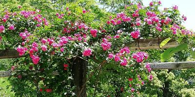 アカオリゾート公国に バラを見に 園内散策