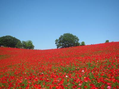 天空のポピー 青い空と真っ赤な絨毯&和同開珎に金運祈願 皆野と秩父の暑い一日