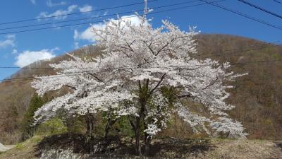 令和元年 満開の桜