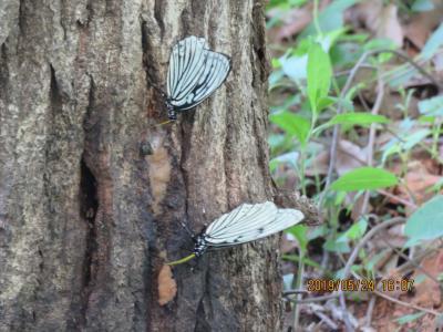 2019年森のさんぽ道で見られた蝶⑫アカボシゴマダラ、アオスジアゲハ、ツマグロヒョウモン