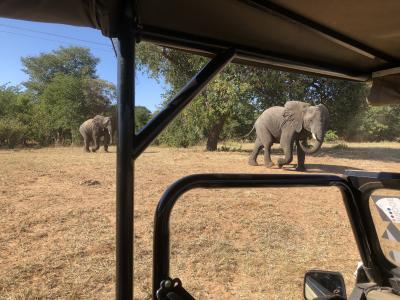 アフリカ 4   ボツワナ チョベ国立公園 ドライブサファリ  路渡る 象の親子に 車停め