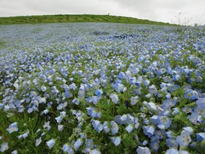ネモフィラの青い絨毯