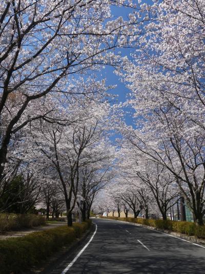 「多々良沼公園」のサクラ_2019_4月4日は5~7分咲きでしたが、綺麗でした(館林市 編)