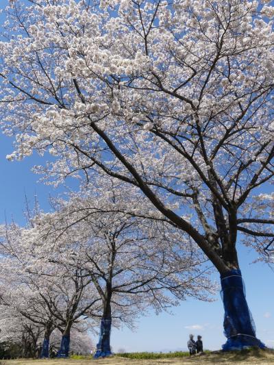 「多々良沼公園」のサクラ_2019_4月4日は5~7分咲きでしたが、綺麗でした(邑楽町 編)