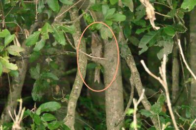 GW10連休!ケアンズ北部のデインツリー 川 で「探鳥どうでしょう。」第6話:擬態の天才ガマグチヨタカと便秘の救世主COMBUCHAの巻。
