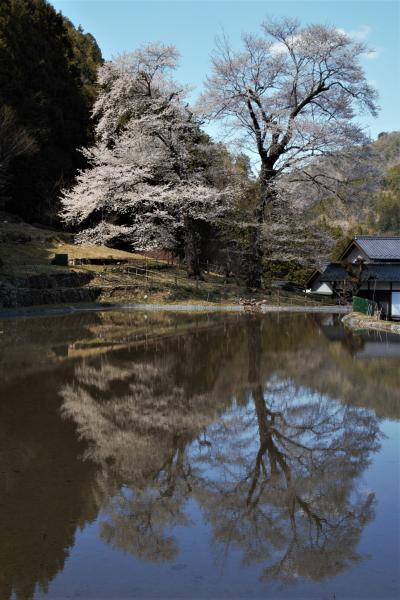 桜見物とドライブ