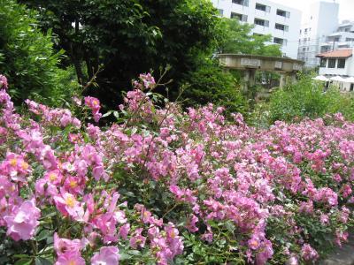 港の見える丘公園、イングリッシュガーデンのバラを見に行こう