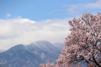 '19.木曽・南信州の桜を求めて(光前寺・蔵沢寺)