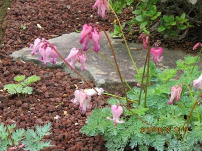 令和元年も箱根温泉旅行をしました⑤湿性花園・・・1)外国の山草と園芸種