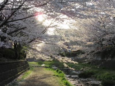 2019年4月5日:毎年恒例・桜満開の野川西之橋散策