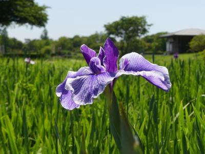 「つつじが岡第二公園」の花菖蒲_2019_まだ早過ぎ、ところどころで咲き始めです(群馬県・館林市)