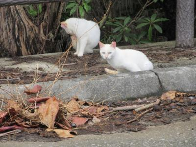 猫探し【沖縄(屋我地島と古宇利島・Yagachi & Kouri Iss.)編】