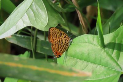 2019年森のさんぽ道で見られた蝶⑬アカボシゴマダラ、アカシジミ、ウラナミアカシジミ等