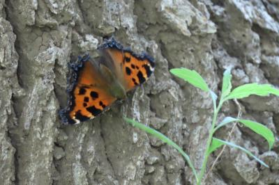 2019年森のさんぽ道で見られた蝶⑭ヒオドシチョウ、ミズイロオナガシジミその他