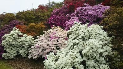 花の終わりより、混雑しても最盛期か。