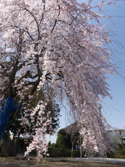 「普濟寺」のシダレザクラ_2019(1)_3月27日は5~7分咲きくらいでした(群馬県・館林市)