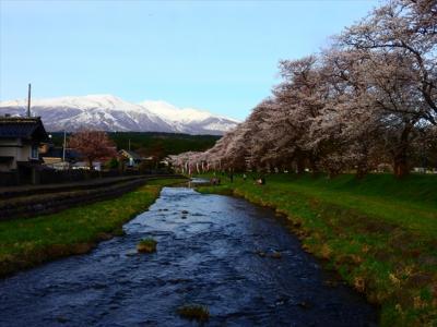 庄内の桜の名所、日和山公園、舞鶴公園、中山河川公園の桜を見に行きました。