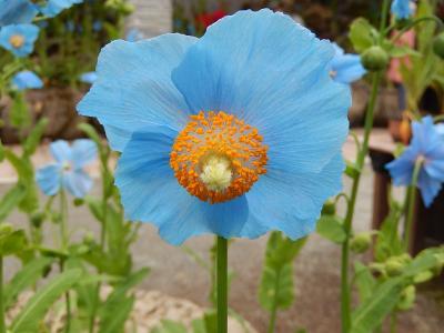 令和元年も箱根温泉旅行をしました⑥湿性花園・・・2)青いケシの花「ブルーポピー」を見る