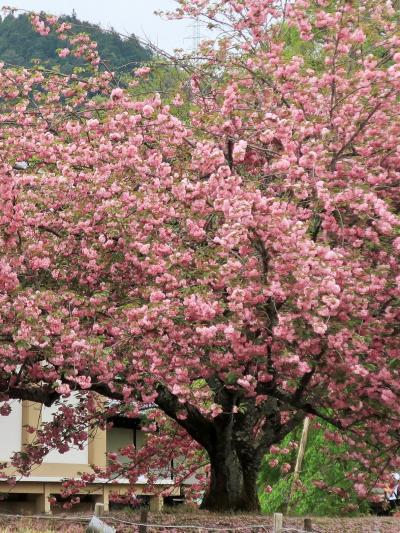 京都平成06 醍醐寺e  霊宝館 -寺宝10万点以上収蔵- ☆八重桜-満開の時を迎えて