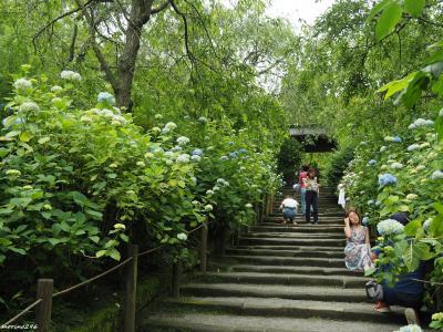 梅雨入り前の鎌倉・花散歩@東慶寺と明月院