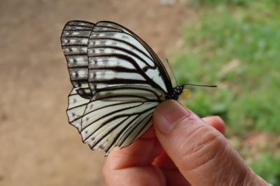2019年森のさんぽ道で見られた蝶⑮ヒオドシチョウ、ヒメアカタテハその他