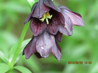 令和元年も箱根温泉旅行をしました⑦箱根湿性花園・・・3)低層湿原の植物、高山のお花畑、ヌマガヤ草原の植物等