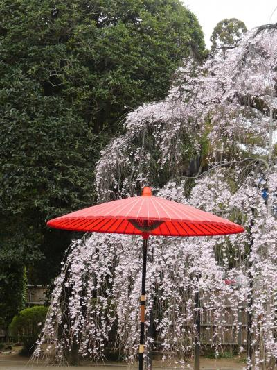 「普濟寺」のシダレザクラ_2019(2)_3月29日はほぼ満開、でも曇天(群馬県・館林市)