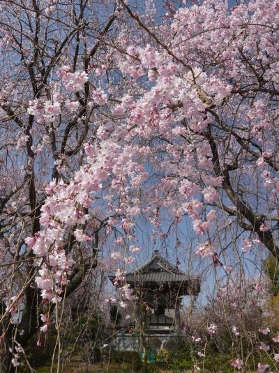 「龍興寺」のシダレザクラ_2019_3月27日はほぼ満開で、とても綺麗でした(群馬県・館林市)