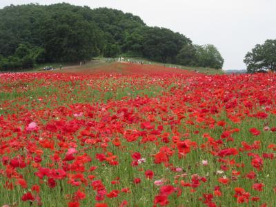 ハイキング倶楽部第55回 天空のポピーと大霧山 Hiking to Ogiriyama and Shirley poppy