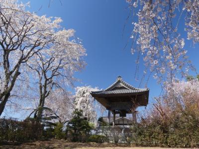 「龍興寺」のサクラ_2019_4月4日は満開には早かったが、でも綺麗でした(群馬県・館林市)