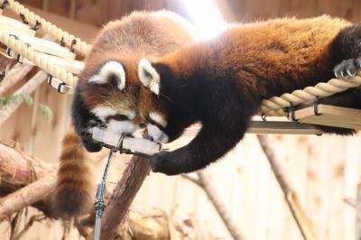 令和最初のレッサーパンダ動物園GWの伊豆めぐり(2)伊豆シャボテン動物公園(前)レッサーパンダ愛が足らなかった私だけど2番目当ては大ラッキー