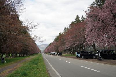 桜の名所、静内へ。