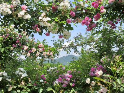 rose garden 2019☆