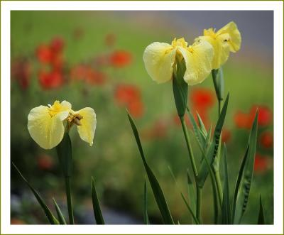 Solitary Journey[1990]初夏を彩る花たち。花菖蒲・ポピー・薔薇・睡蓮など<向原花しょうぶ園&湧永庭園>広島県安芸高田市