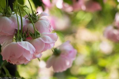 バラ撮りに神代植物公園&深大寺