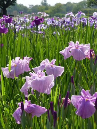 「つつじが岡第二公園」の花菖蒲_2019(3)_3~4割くらい咲きました。(群馬県・館林市)