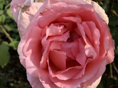 フサフサ 育毛のバタフライ ピーと山下公園のバラ! タイハーブの力はスンゴいぞーぉ!